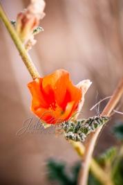 Orange desert flower