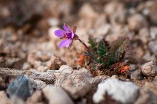 Micro porple desert flower