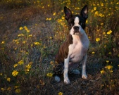 Brindle and White Boston Terrier Puppy